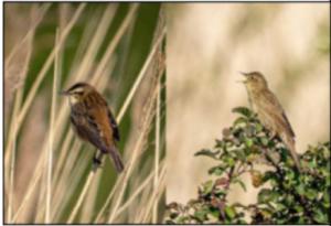 A Sedge Warbler And A Grasshopper Warbler