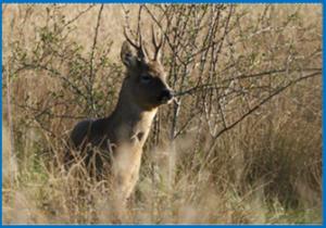Deer In Avon Meadows